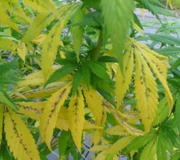 Листья марихуаны желтеют отчего продаж семян конопли магазины