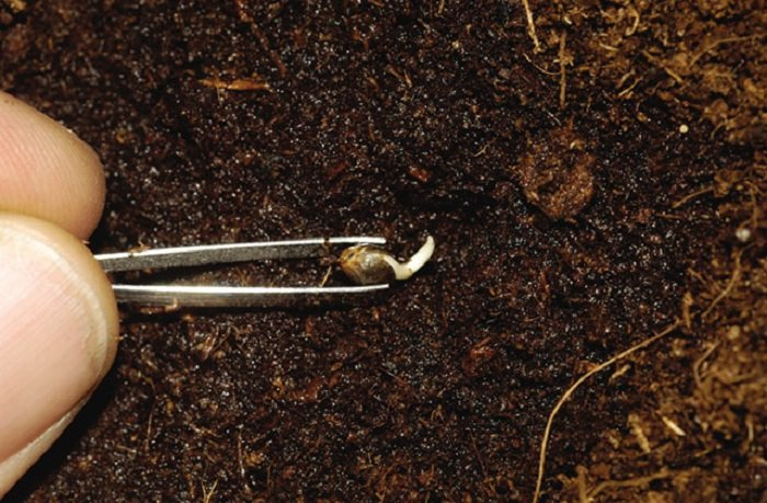 Конопли всходят семена растет в деревне конопля